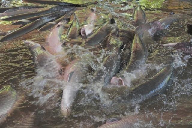 A pesca do pirarucu estará proibida a partir de 1° de novembro a 30 de abril de 2020 - Gente de Opinião