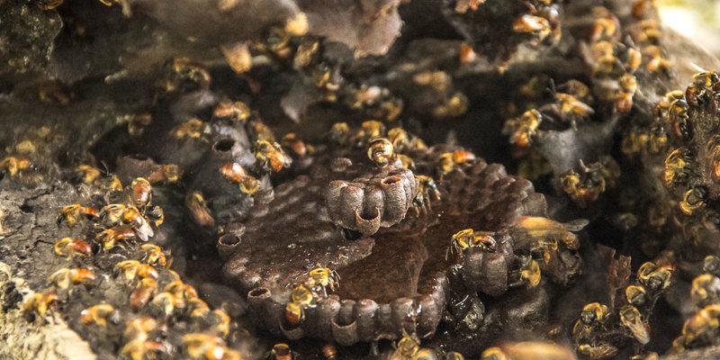 Abelhas nativas são de fácil manuseio (Foto: Aline Fidelix)