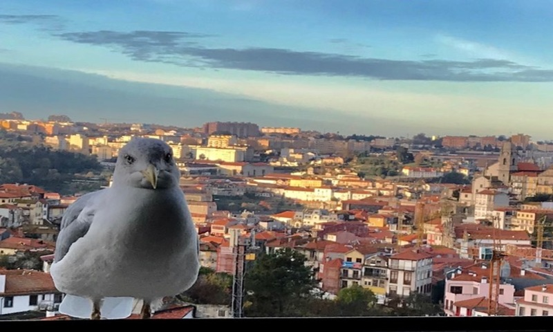 Visita de uma gaivota ao amanhecer na cidade do Porto - Portugal (Foto: Viriato Moura)