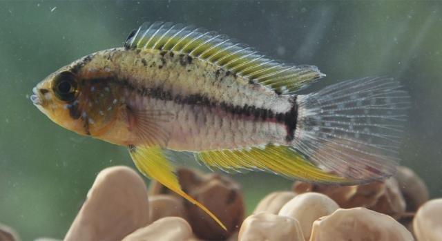 Peixe ciclídeo anão (Apistogrammoides pucallpaensis), registrado pela primeira vez em águas da Amazônia brasileira - crédito Jonas Oliveira - Gente de Opinião