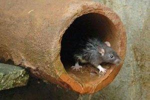 Doença do Rato: Confirmados dois casos de Leptospirose em Rolim  - Gente de Opinião