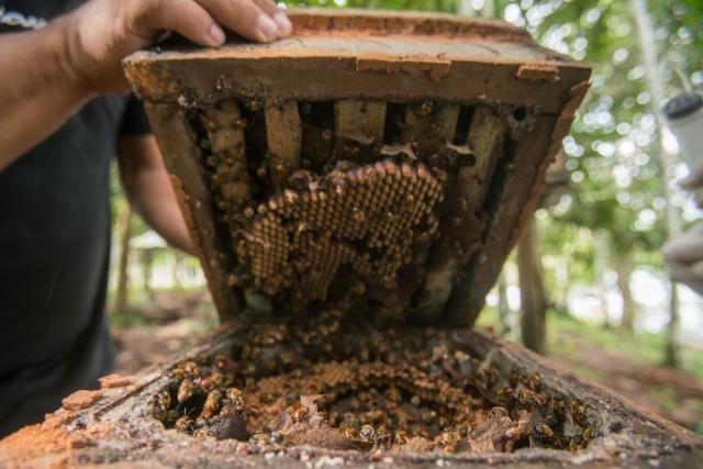 Meliponicultura oferece série de benefícios a criadores (Foto: Leonardo Lopes) - Gente de Opinião