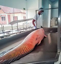 O frigorífico exporta hoje tambaqui e pirarucu - Gente de Opinião