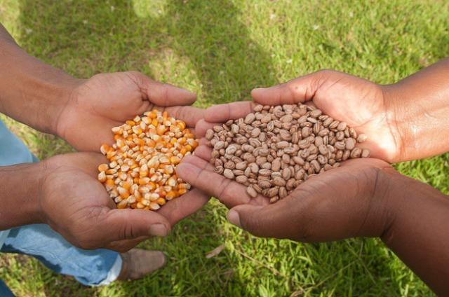 Rondônia: Conab pode adquirir sementes de milho e feijão de agricultores familiares do estado - Gente de Opinião