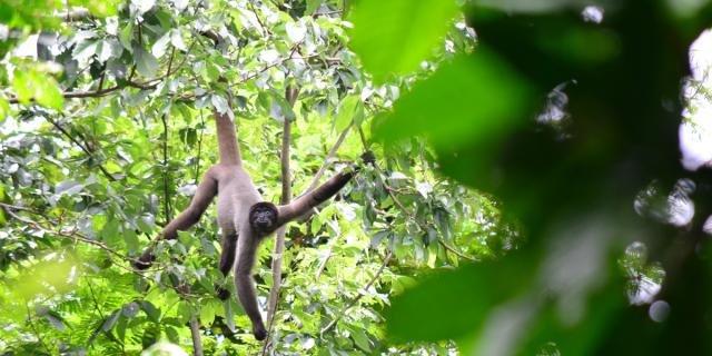 Primata é considerado 'vulnerável' pela UICN (Foto: Anamélia Jesus) - Gente de Opinião
