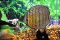 Três curiosidades sobre a reprodução de peixes   na Amazônia