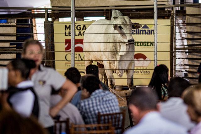 Megaleilão Nelore CFM vende 1.000 reprodutores com as melhores condições de compra e frete - Gente de Opinião