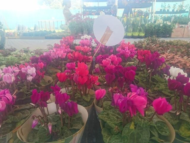 Festival Flores de Holambra chega a Porto Velho - Gente de Opinião