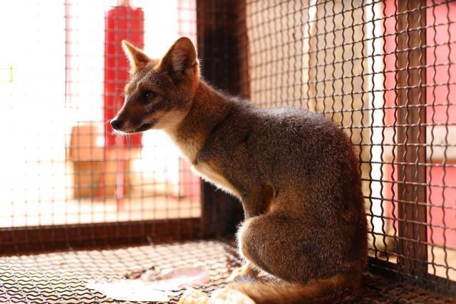 Jaguatirica, raposas e cobras: Semma cuida e devolve à Natureza 14 animais silvestres em outubro com parceria de órgãos ambientais - Gente de Opinião