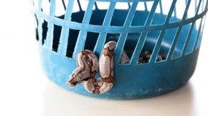 Cobra joboia foi encontrada dentro de uma lixeira, em Porto Velho - Gente de Opinião