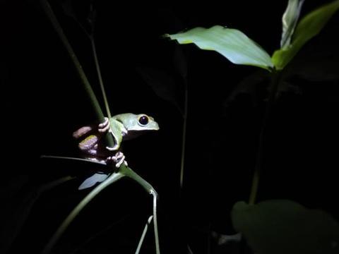 Anfíbio em perigo crítico de extinção é estudado pela Semma de Vilhena