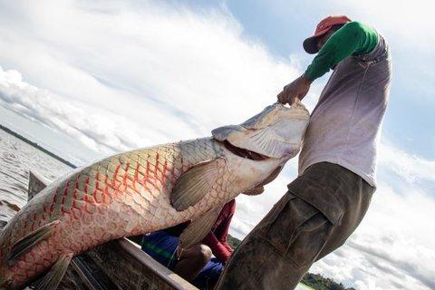 Pirarucu de manejo tem preço mínimo estabelecido em R$7,83/kg