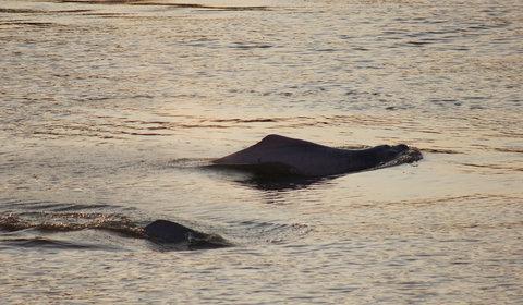 Cientistas estimam população de botos na bacia do rio Amazonas