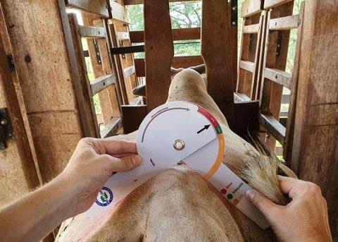 Dispositivo para avaliação de carcaça bovina está disponível aos pecuaristas