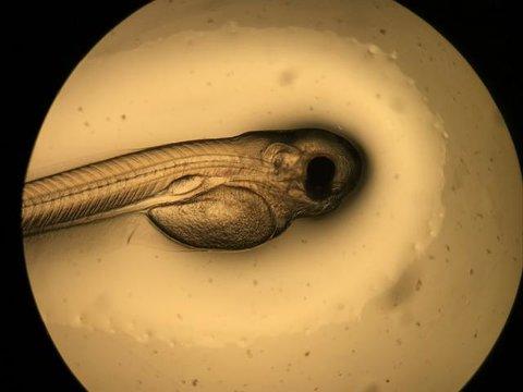 Curimbas nascem no Laboratório de Reprodução de Peixes da Hidrelétrica Santo Antônio