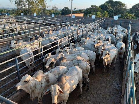 Circuito Nelore de Qualidade avalia 378 animais em Porto Velho (RO)